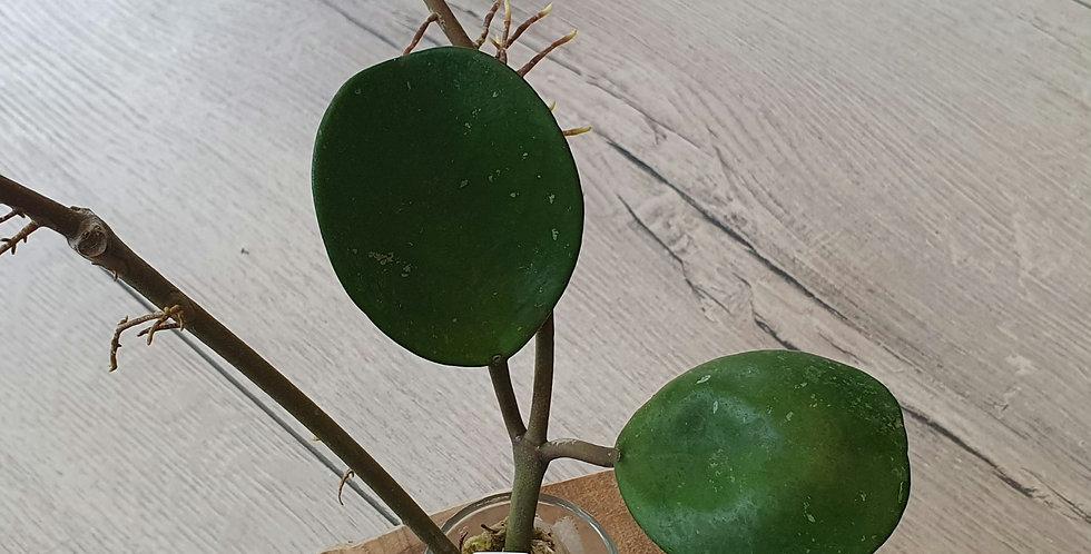 Hoya obovata