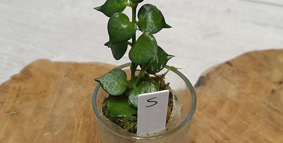 "Dischidia ruscifolia ""One million hearts"""