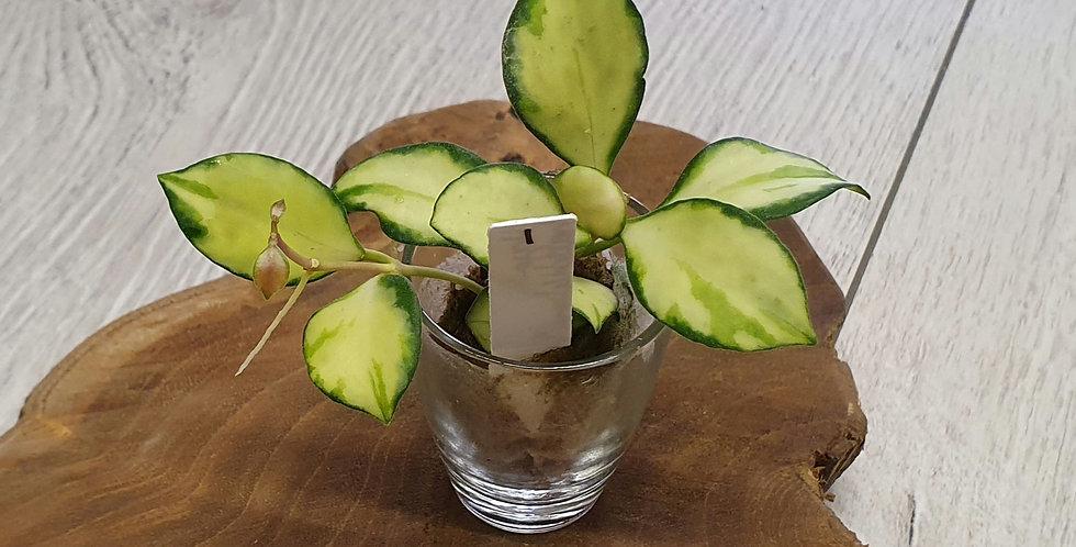 Hoya heuschkeliana 'Variegata'