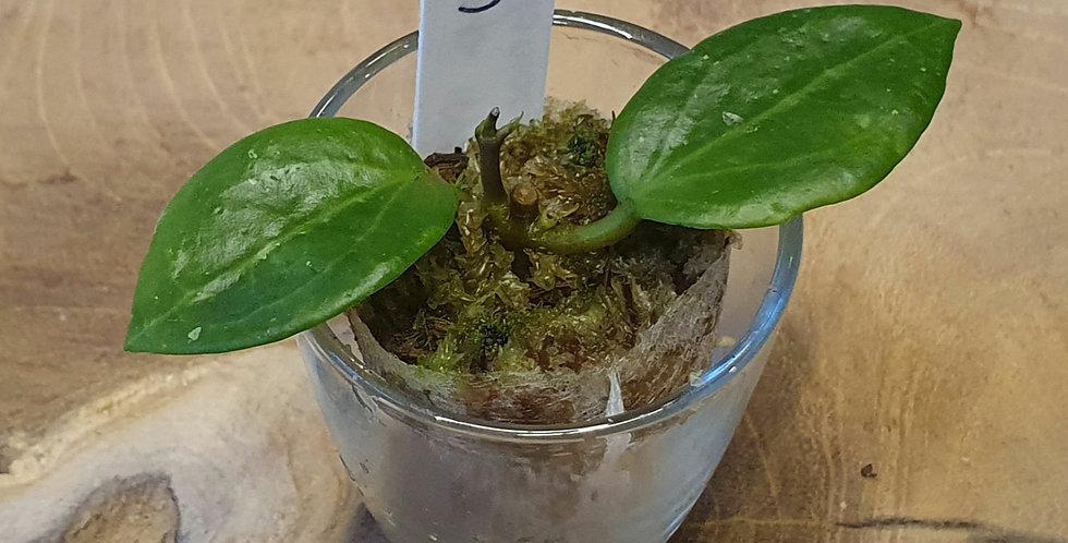 Hoya limoniaca IPPS0140