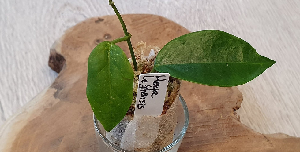 Hoya leytensis