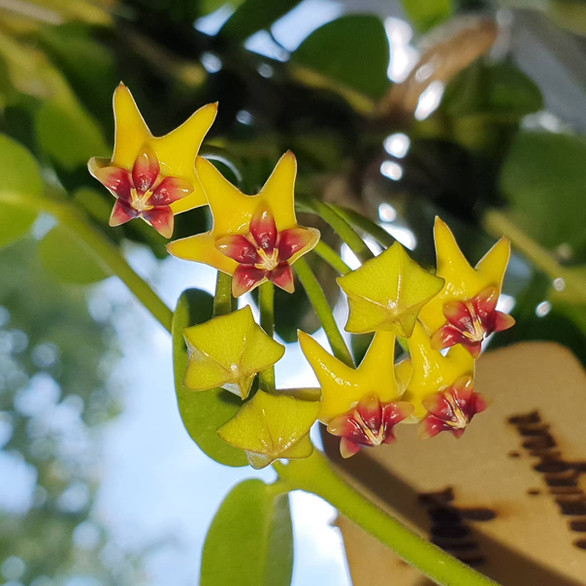 Hoya cummingiana