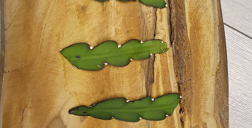 Rhipsalis Cruciformis Hoja Plana