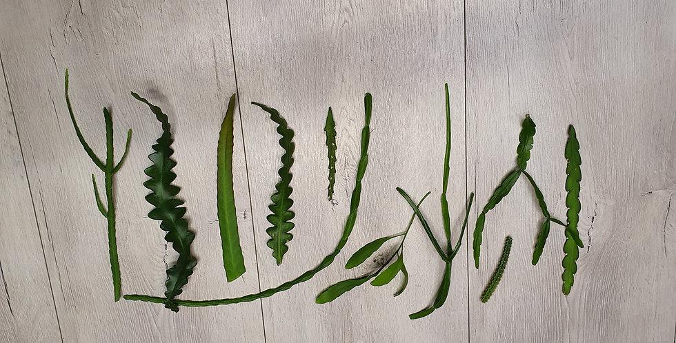 Suprisebox Tropische Cactus stekjes (ongeworteld)