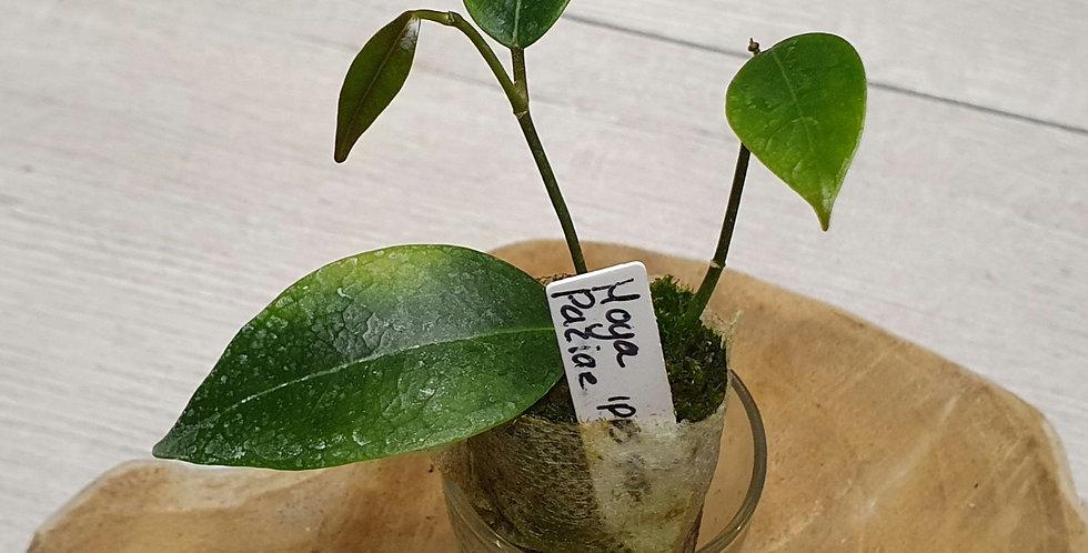 Hoya 'Iris Marie' IPPS 9051 (former Paziae)