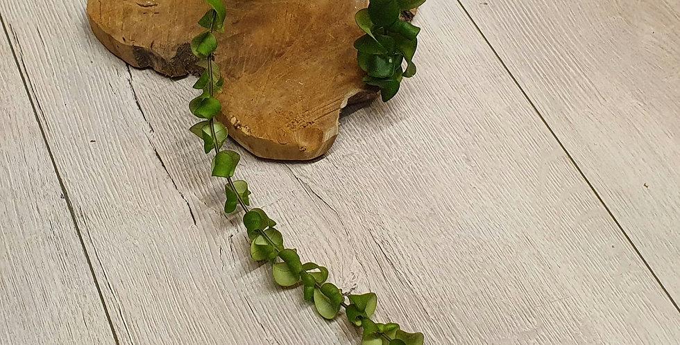 Aeschynanthus rasta (Big cutting)