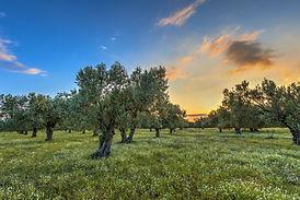 Oliveto - Fattoria Lepini