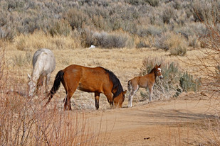 Killing Harmless Animals: Why is the Government Slaughtering Horses?