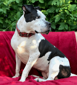 Pitbull looking for a home