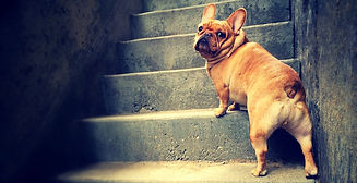 Ralphie the French Bulldog