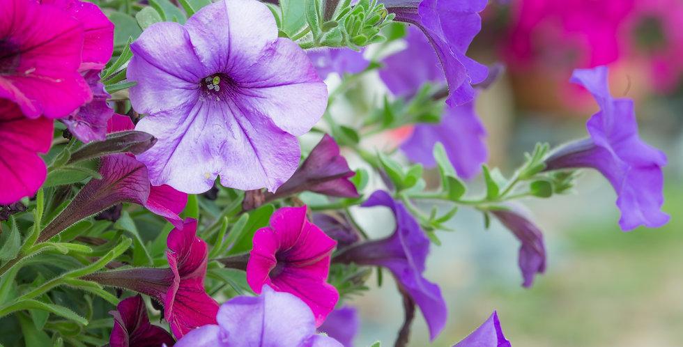 """Wave Petunia 10"""" Hanging Basket"""