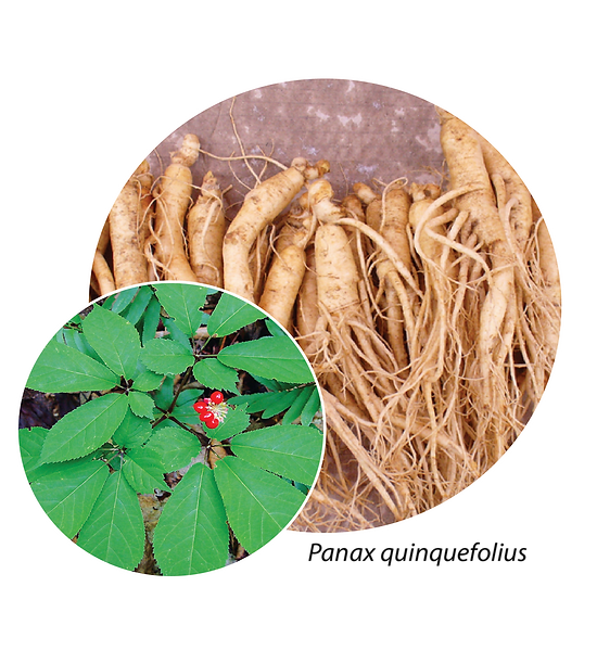 Ginseng 2 bubble-01.png