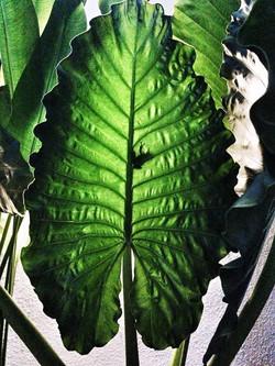 Giant leaf, little frog