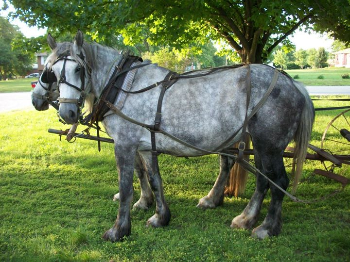 Registered Percheron Draft mares - with