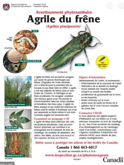 Agrile.JPG
