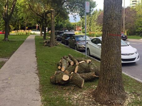 Montréal abattra 40 000 frênes touchés par l'agrile