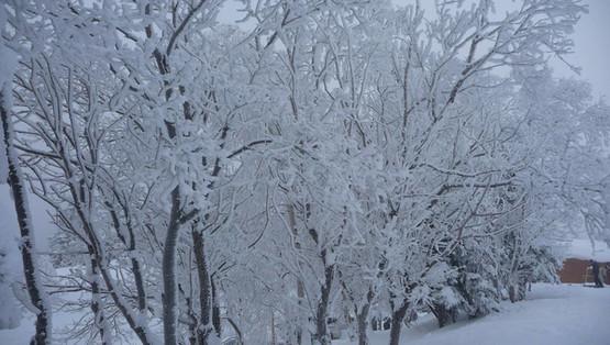 arbres enneigés chamrousse