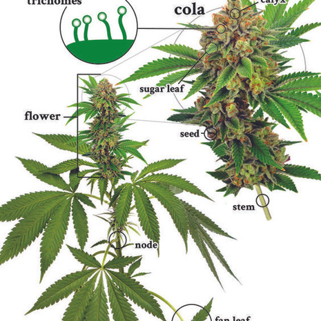 Marijuana Plant Anatomy: The Different Parts