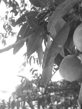 American Almonds
