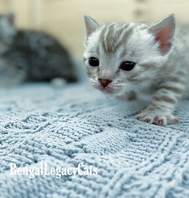 Bengal Cat Snow Minx