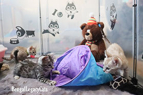 Bengal Cat Breeder in the UK