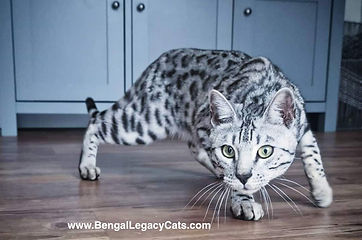 Beautiful Silver Bengal Cat in the UK