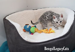 Bengal Kittens for Sale in Birmingham