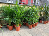 palmenverkauf