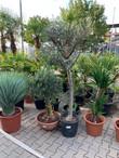 hanfpalmen und bonsai bäume