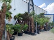 das palmenlager