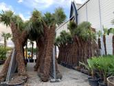 4m palme kaufen