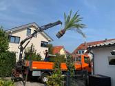 lieferung einer winterharten palme