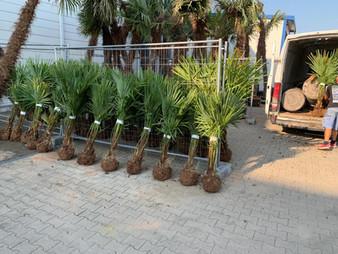 palmen online bestellen
