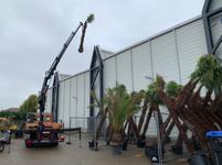 lieferung der Palmen