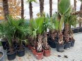 2m palme kaufen
