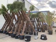 lagerung winterharter palmen