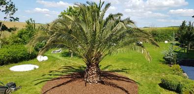 große palme im garten