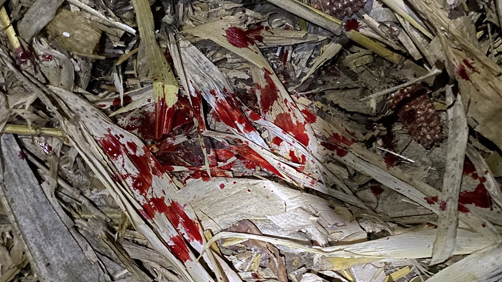 blood trail tracking whitetail doe