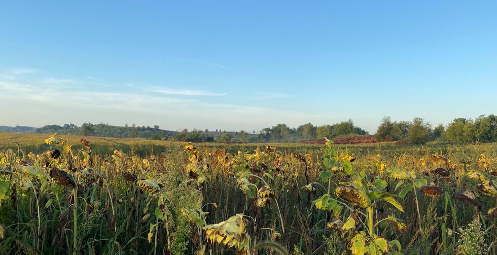 Dove Hunting Sunflower Field