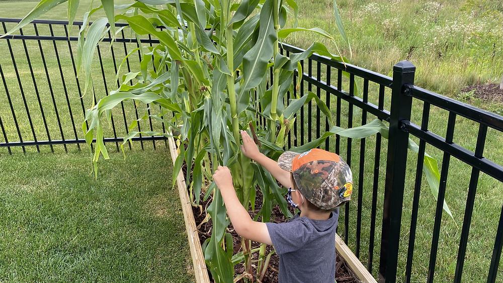 backyard garden sweet corn