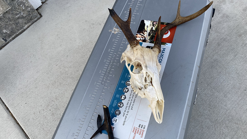 Broken Antler European Mount