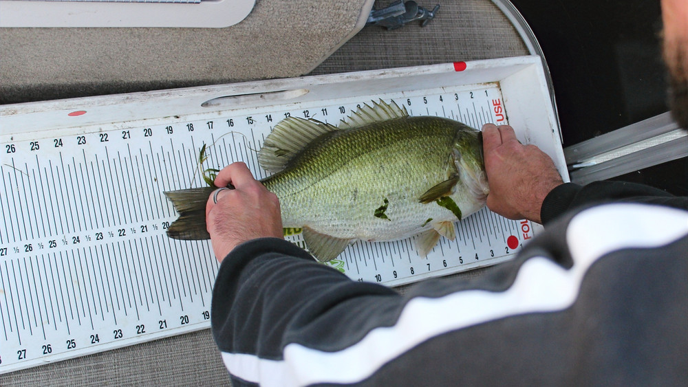 Big largemouth bass caught on muskie bait