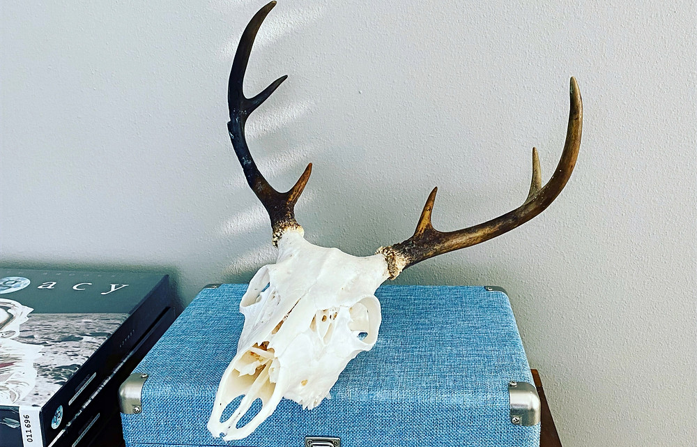Whitetail deer diy European skull mount