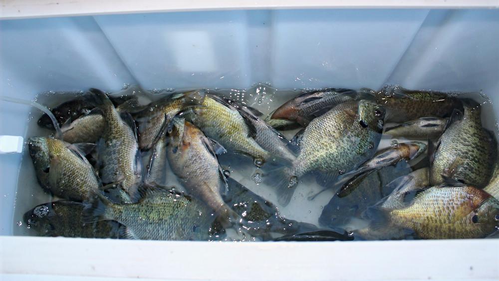 Limit of bluegills caught in summer in deep water