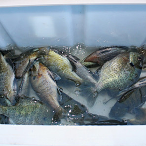 How to Fish for Deep Water Bluegills in the Summer