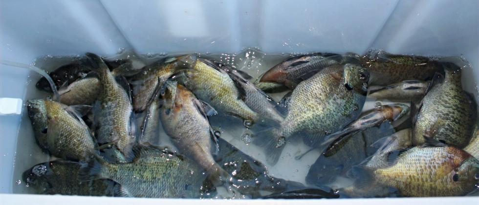 Deepwater Summer Bluegills