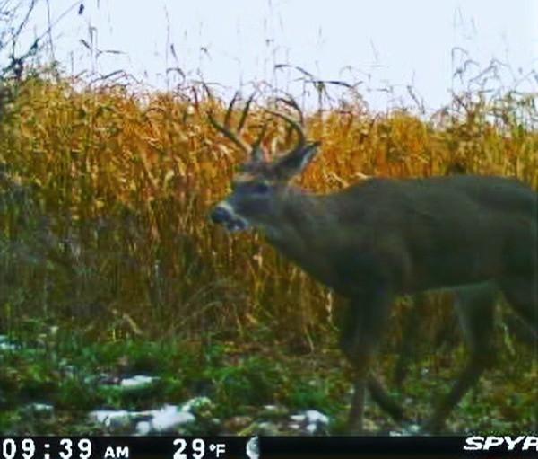 Trail cam picture of buck checking a mock scrape.