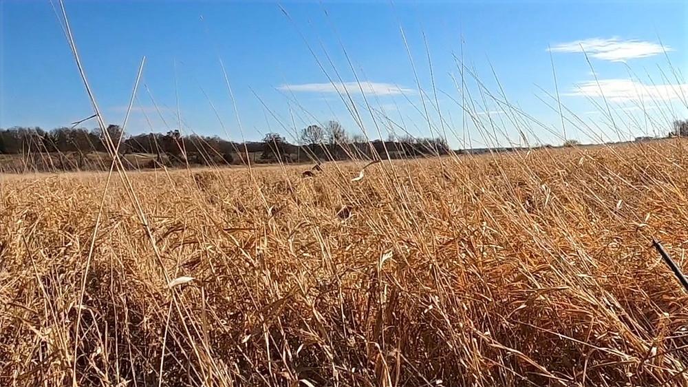 buck and doe in rut in CRP field