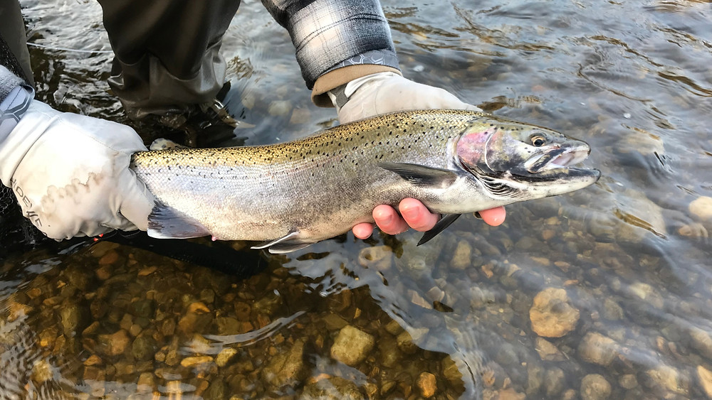great lakes tributary steelhead caught on egg fly pattern