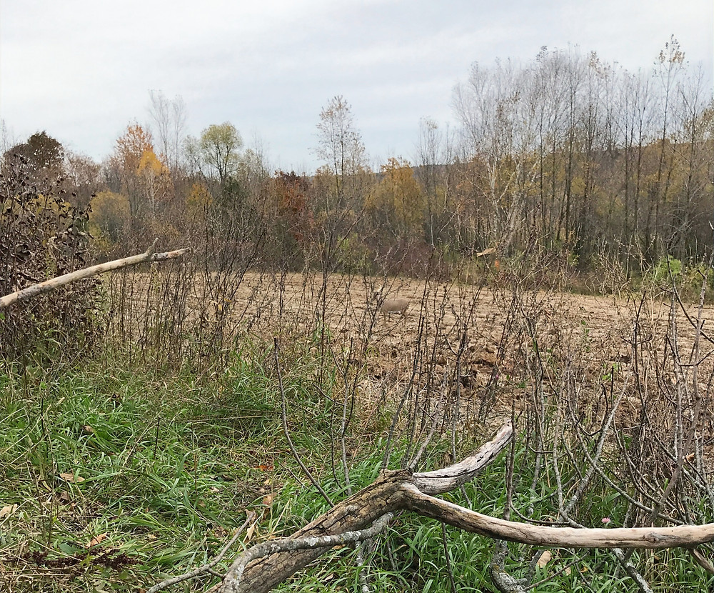 Natural ground blind for traditional recurve bow public land hunt.